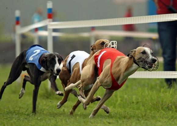 Як робити успішні ставки на собачі перегони?